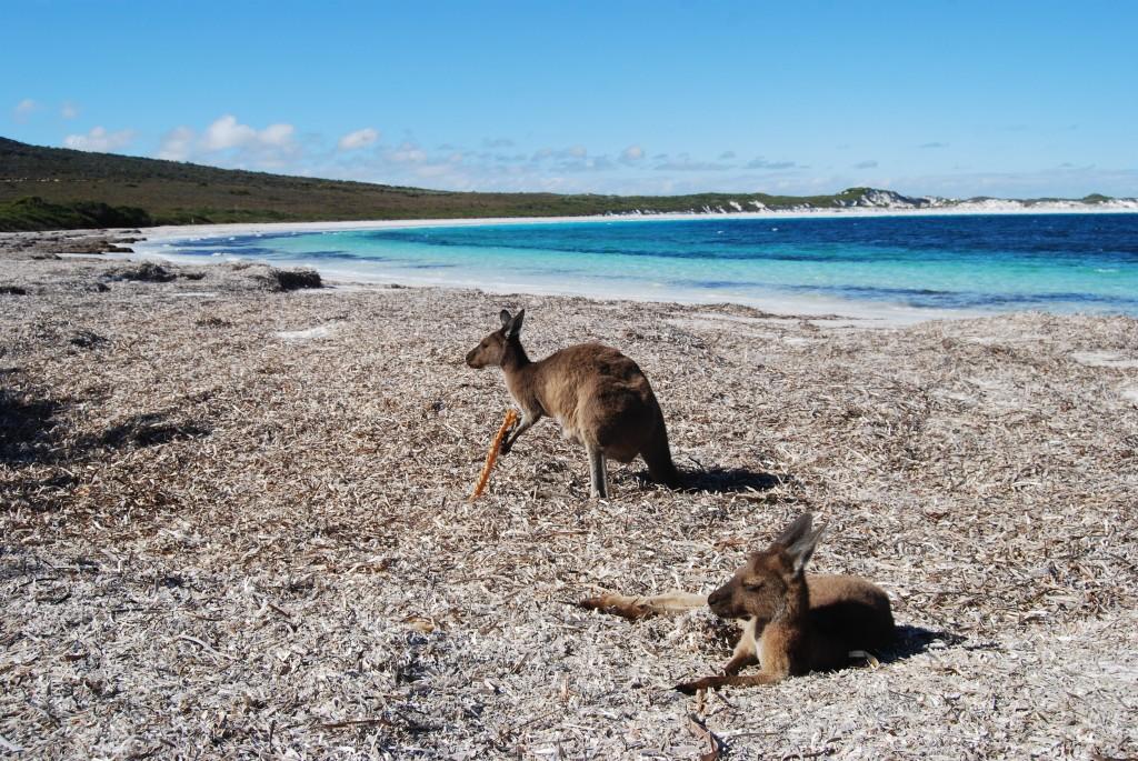 Zelfs de kangoeroes vonden het een lekker strand